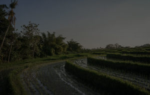 Rice field overview